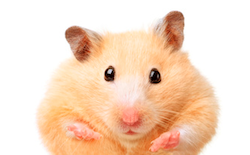 hamster-Fotolia_39564671_XS copie