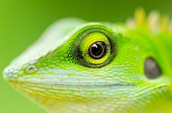 Close up green lizard