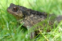 Le crapaud dans l'herbe